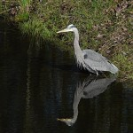 Bill the Great Blue Heron