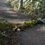 Snag fallen on path