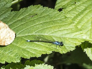 Pacific Forktail Female