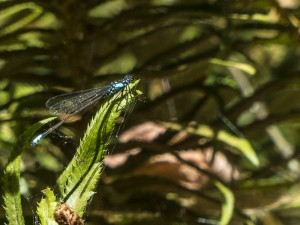 Pacific Forktail Male